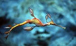 Beautiful Sea dragon