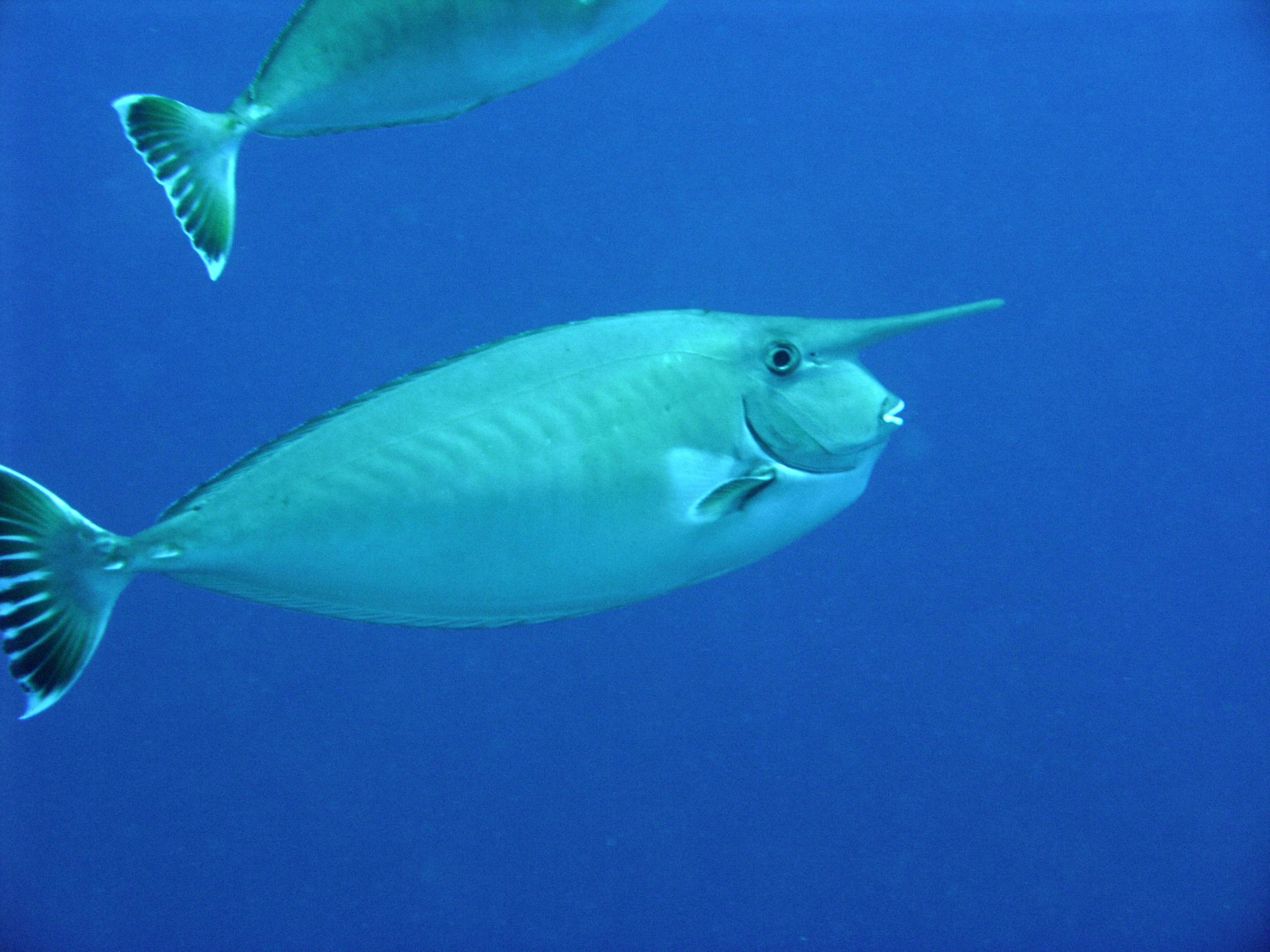 Красивые рыбы-единороги фото