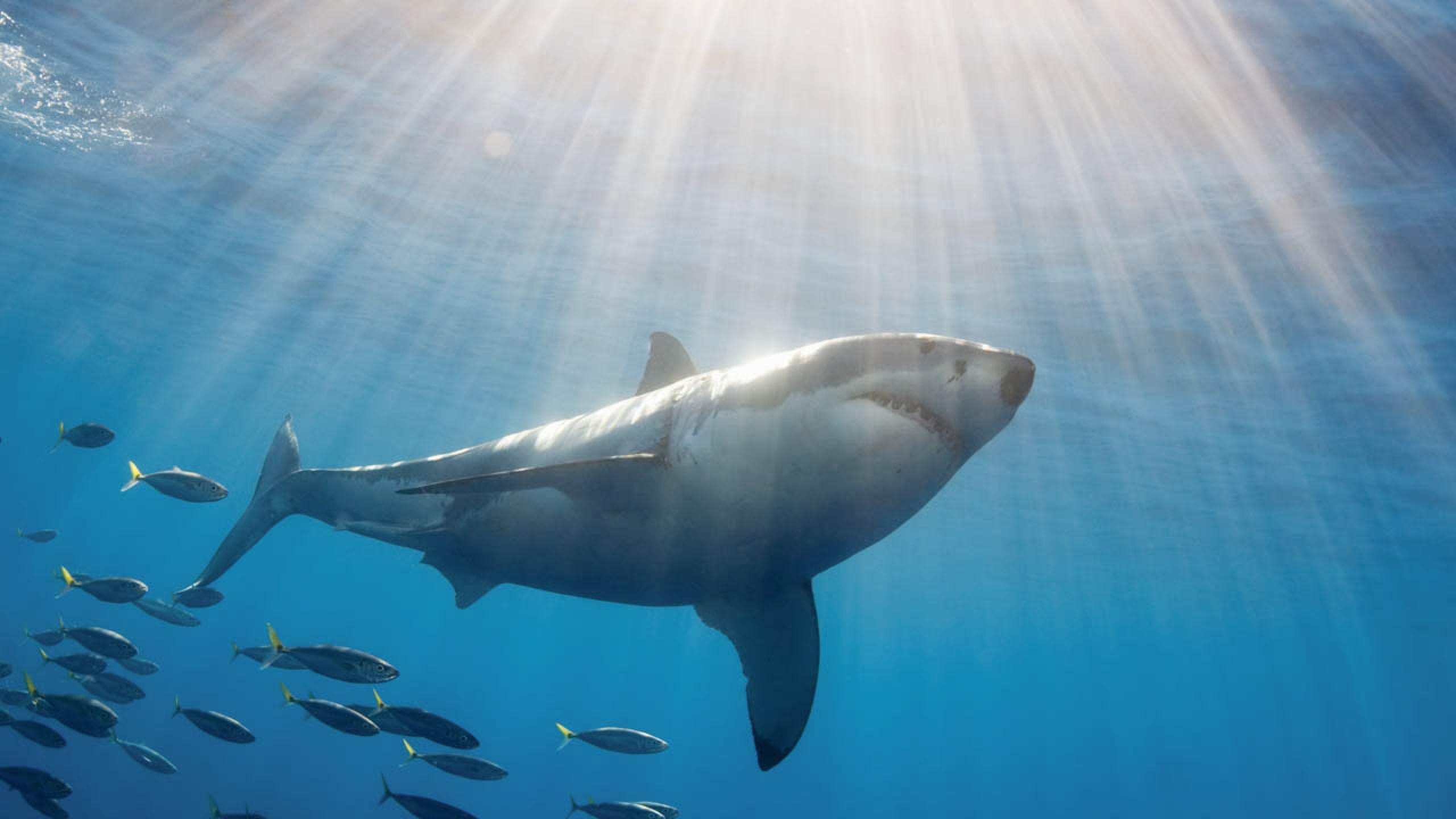 Beautiful White shark photo and wallpaper. Cute Beautiful ...