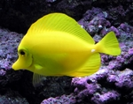 Beautiful Yellow tang