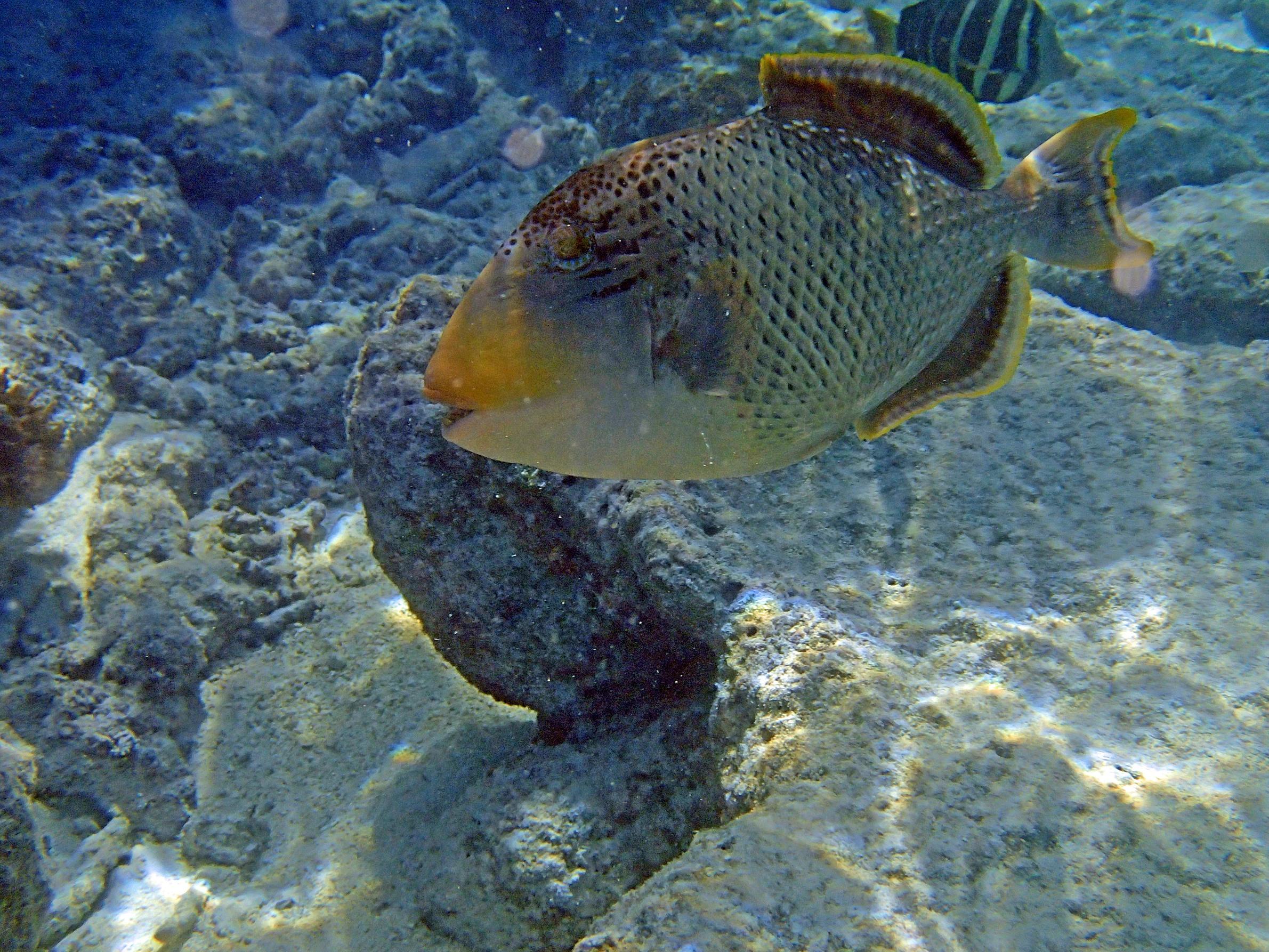 Beautiful Yellowmargin triggerfish wallpaper