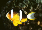 Beautiful Yellowtail clownfish