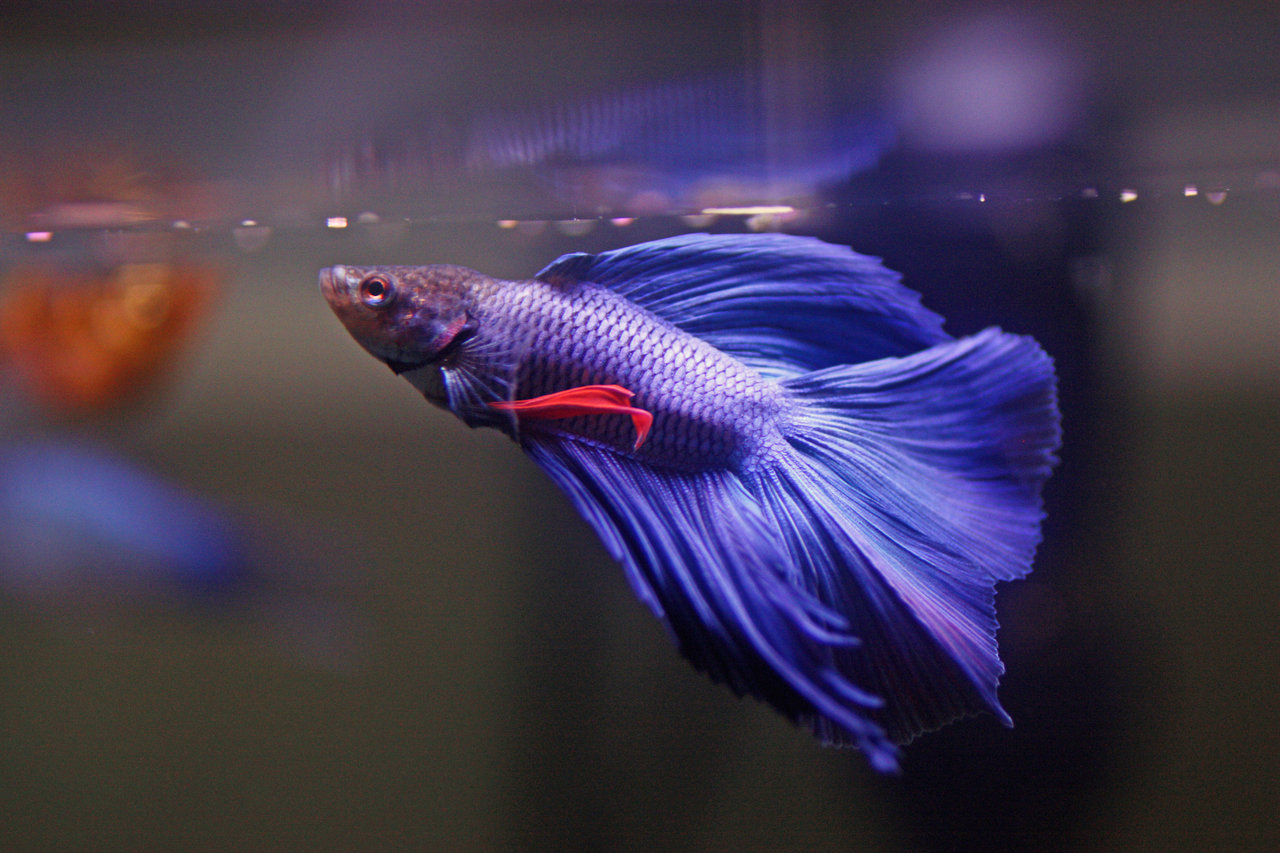 Beta fish wallpaper amazing wallpapers for Betta fish feeder