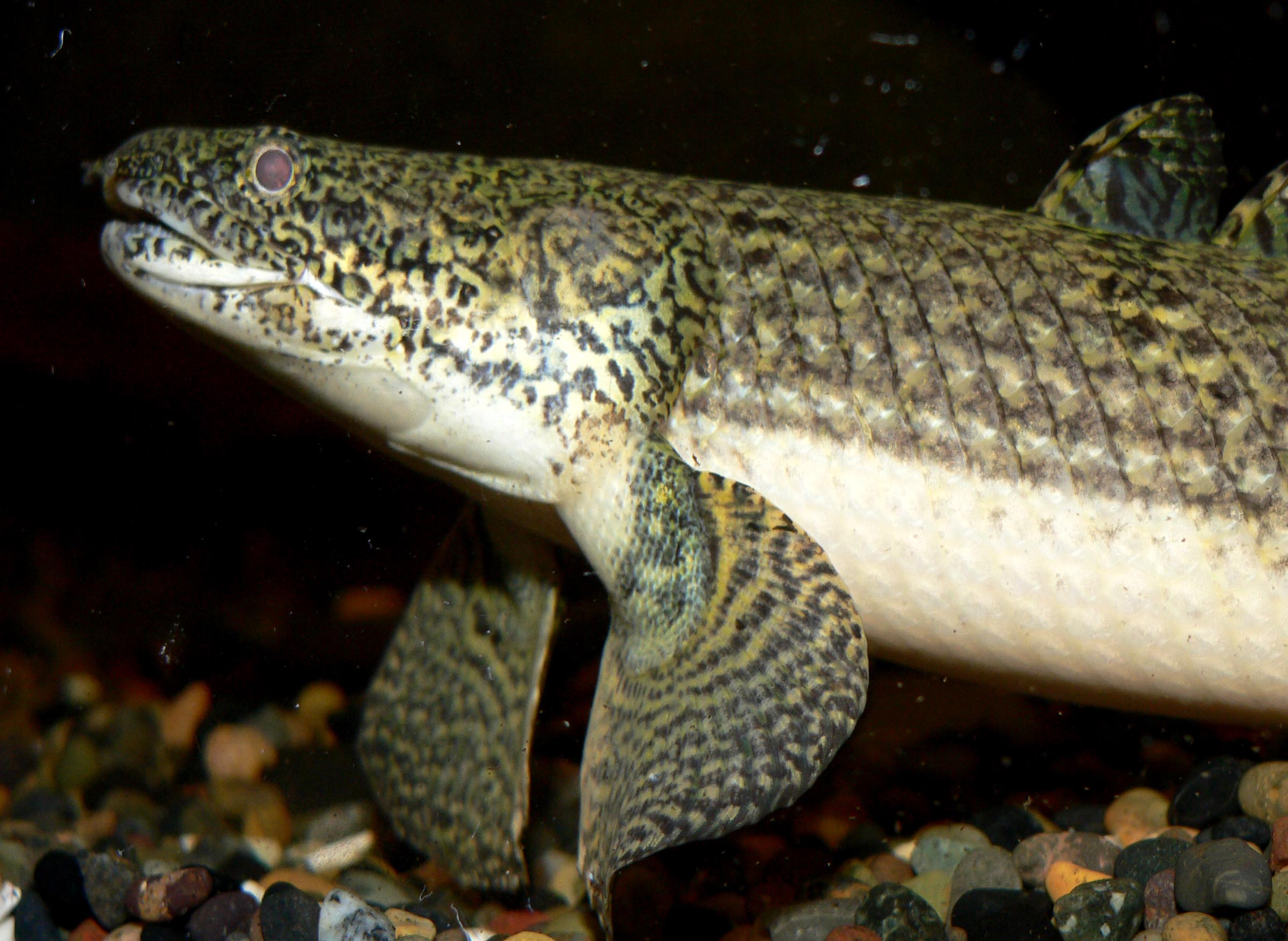 Bichir wallpaper