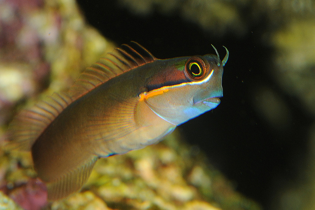 Bicolor Blenny wallpaper