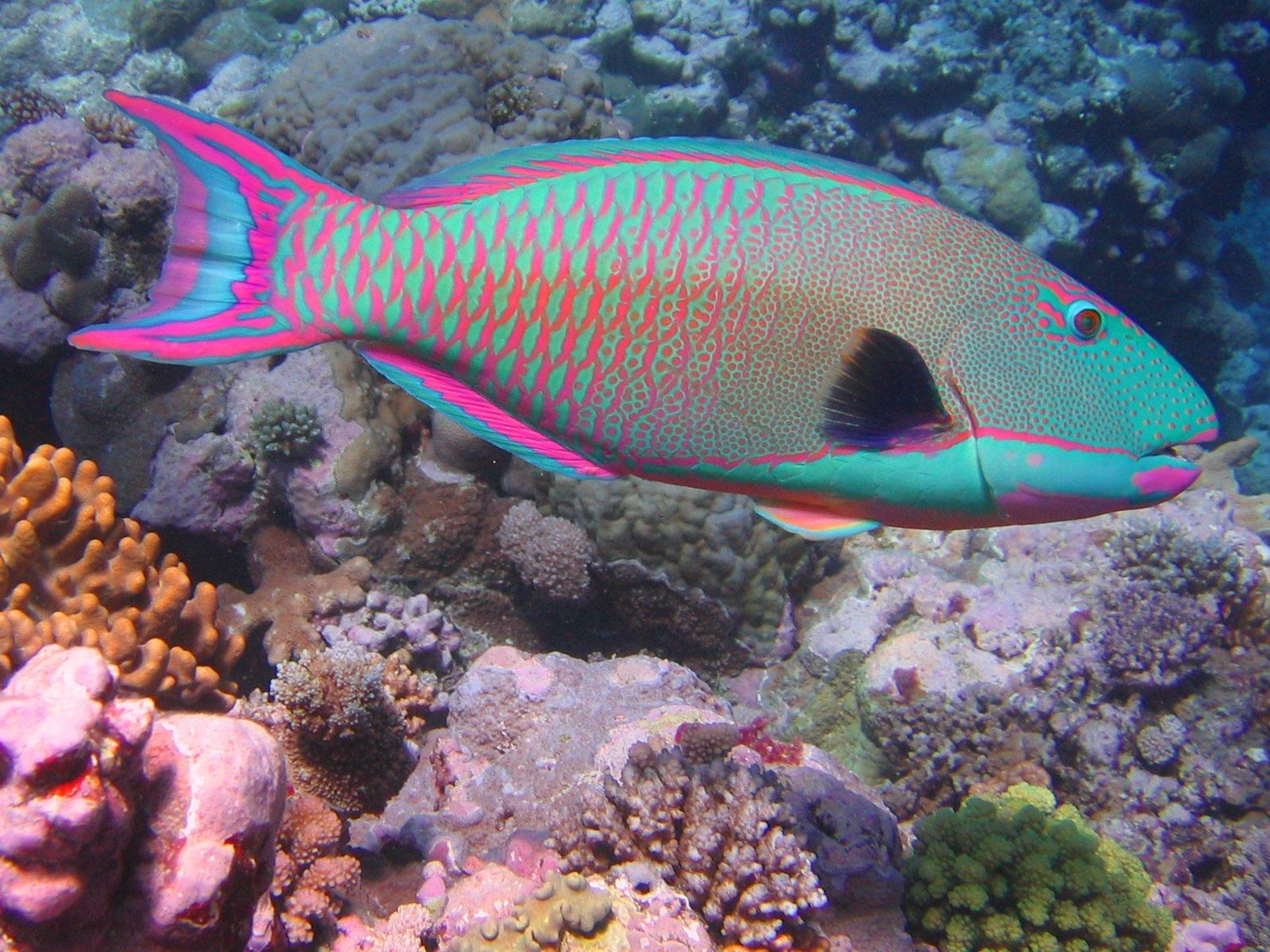 Bicolor parrotfish wallpaper