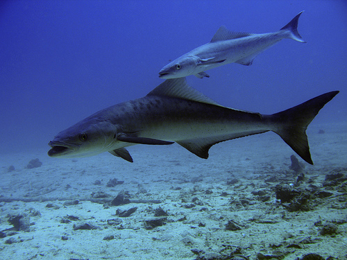 Big and little cobia fishes wallpaper