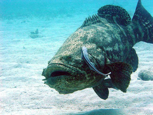 Big fat jewfish photo and wallpaper. Cute Big fat jewfish ...