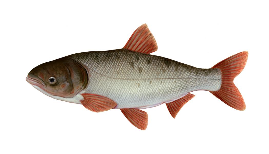 Bighead carp wallpaper