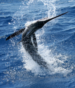 Billfish jumps