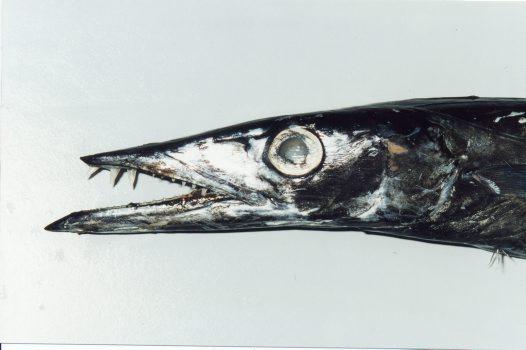 Black and white Snake mackerel wallpaper