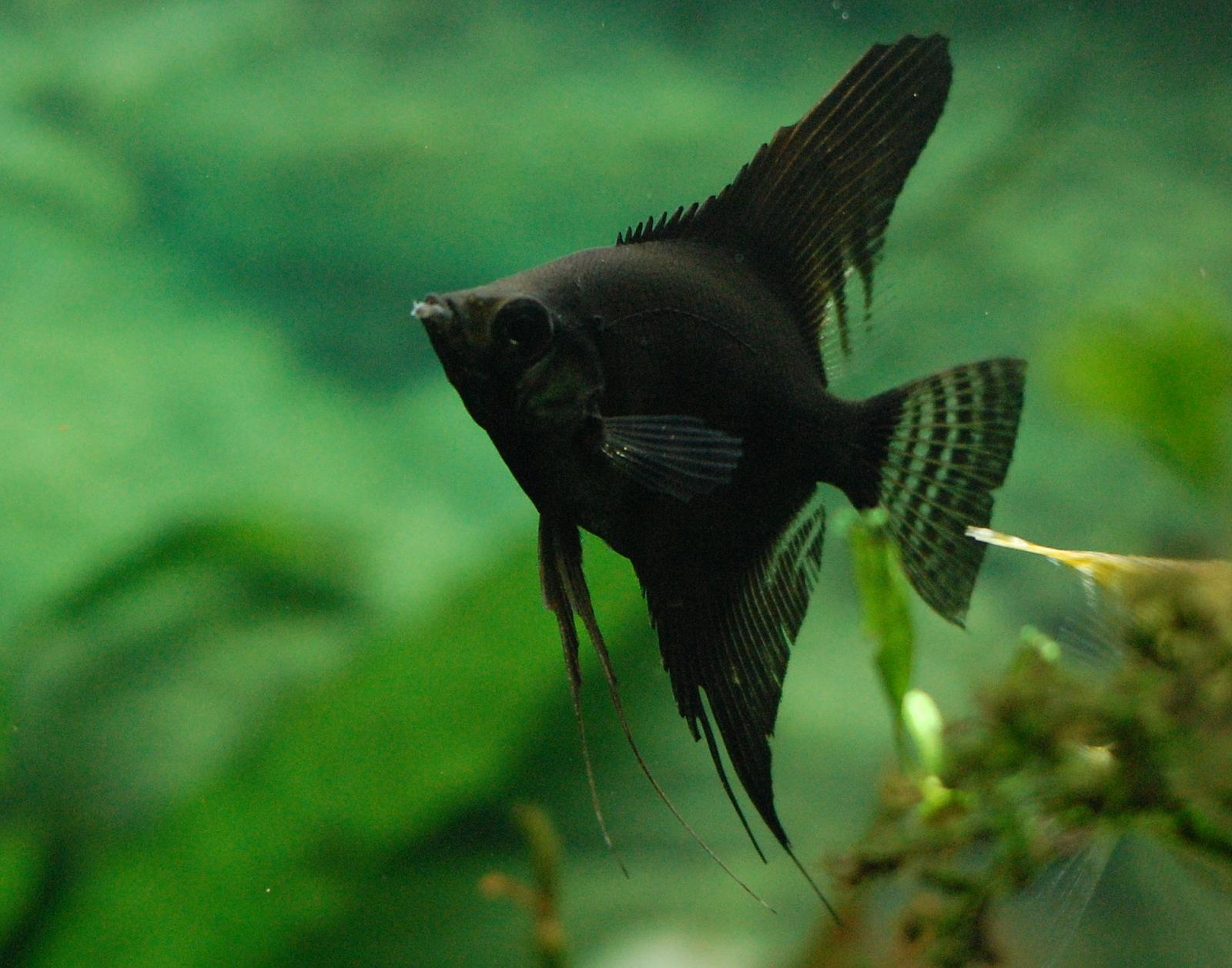 Black angelfish wallpaper