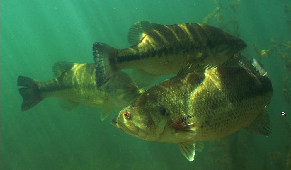 Black bass photo and wallpaper. Cute Black bass pictures