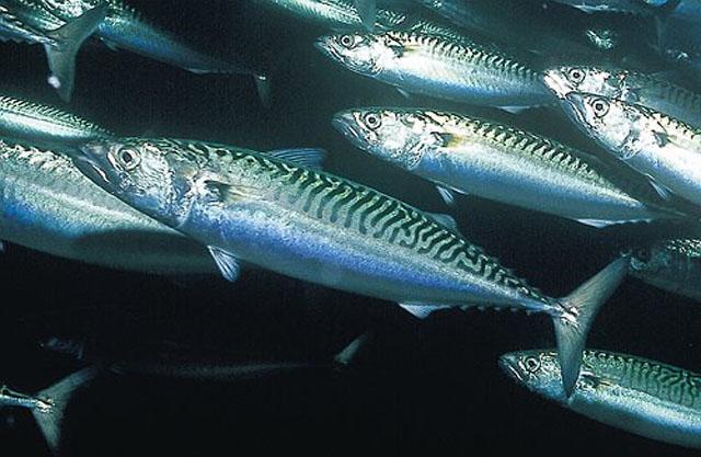 Black mackerel wallpaper