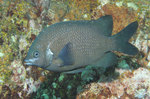 Black scalyfin prarma