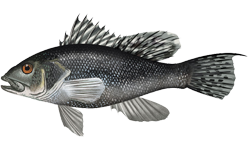 Black sea bass wallpaper
