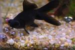 Black Telescopefish