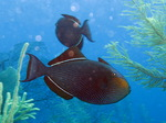 Black triggerfish in algae
