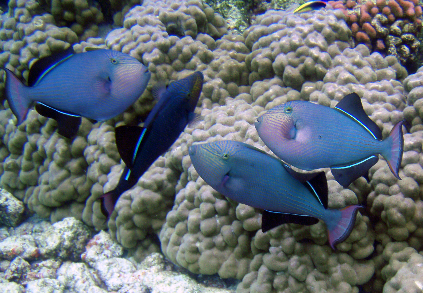 Black triggerfish wallpaper
