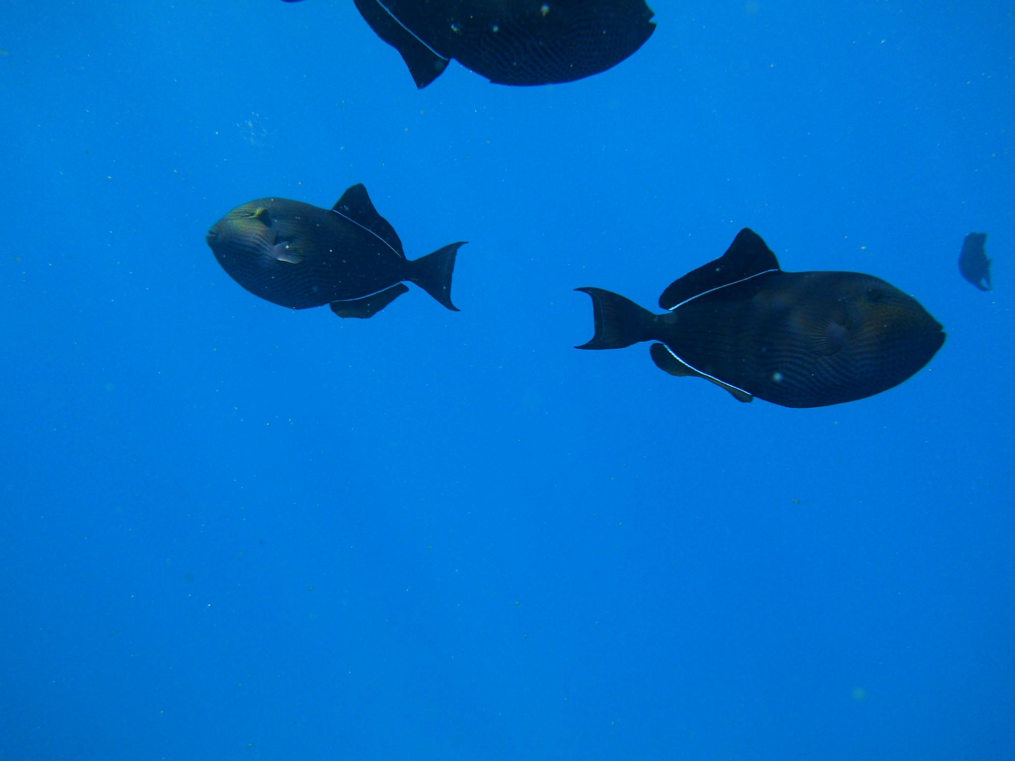 Black triggerfish sea wallpaper