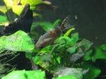 Black Upside-down catfishs