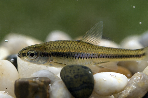 Blackchin fish  wallpaper