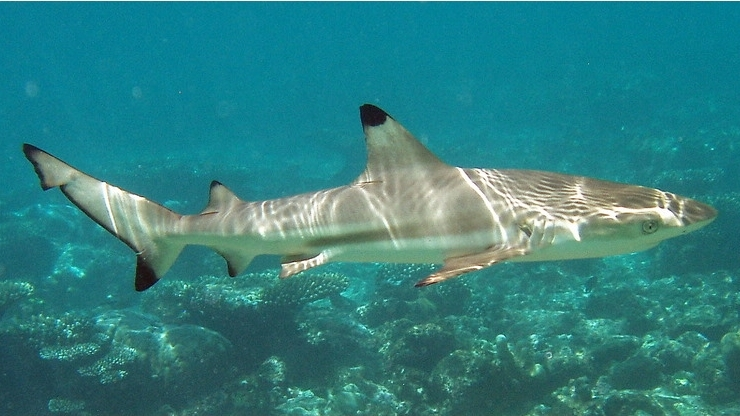 Blacktip reef shark wallpaper