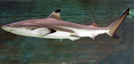 Blacktip reef shark side