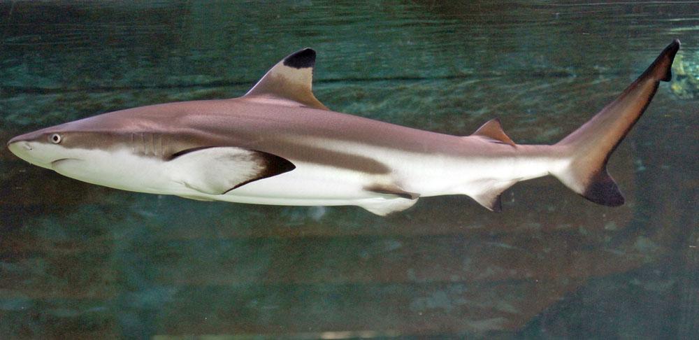 Blacktip reef shark side wallpaper