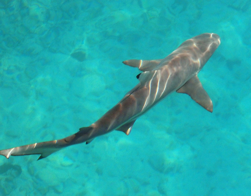 black tip reef sharks Blacktip reef shark reaches a maximum size of 66 feet (200 cm) the maximum recorded weight is 30 lbs (136 kg) a smaller shark with a rounded snout and distinct black tipped fins.