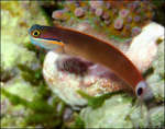 Blenny bottom