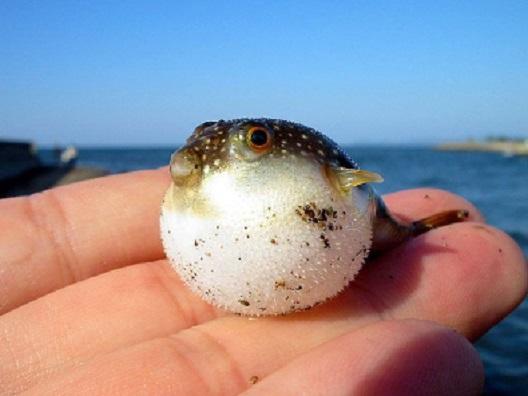 Blowfish is born wallpaper