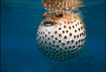 Blowfish on sea