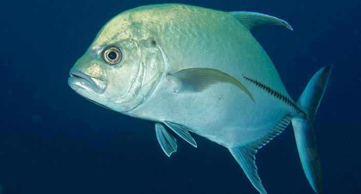 Blue fin jackfish photo and wallpaper cute blue fin for Blue fin fish