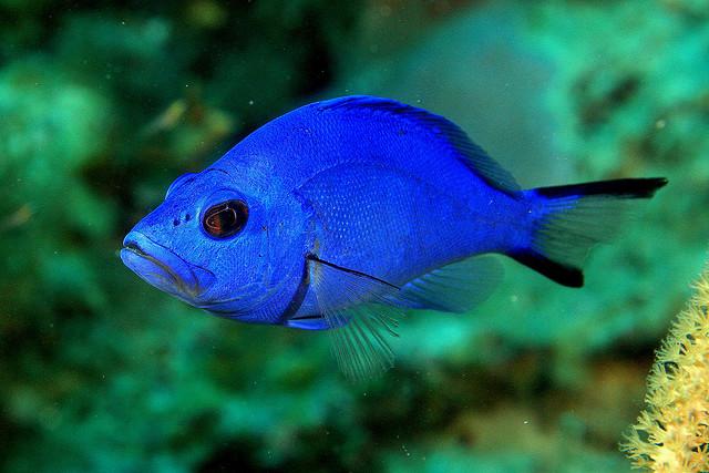Голубой гамлет фото