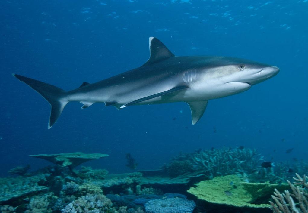 Blue shark in sea wallpaper