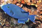 Blue triggerfish float