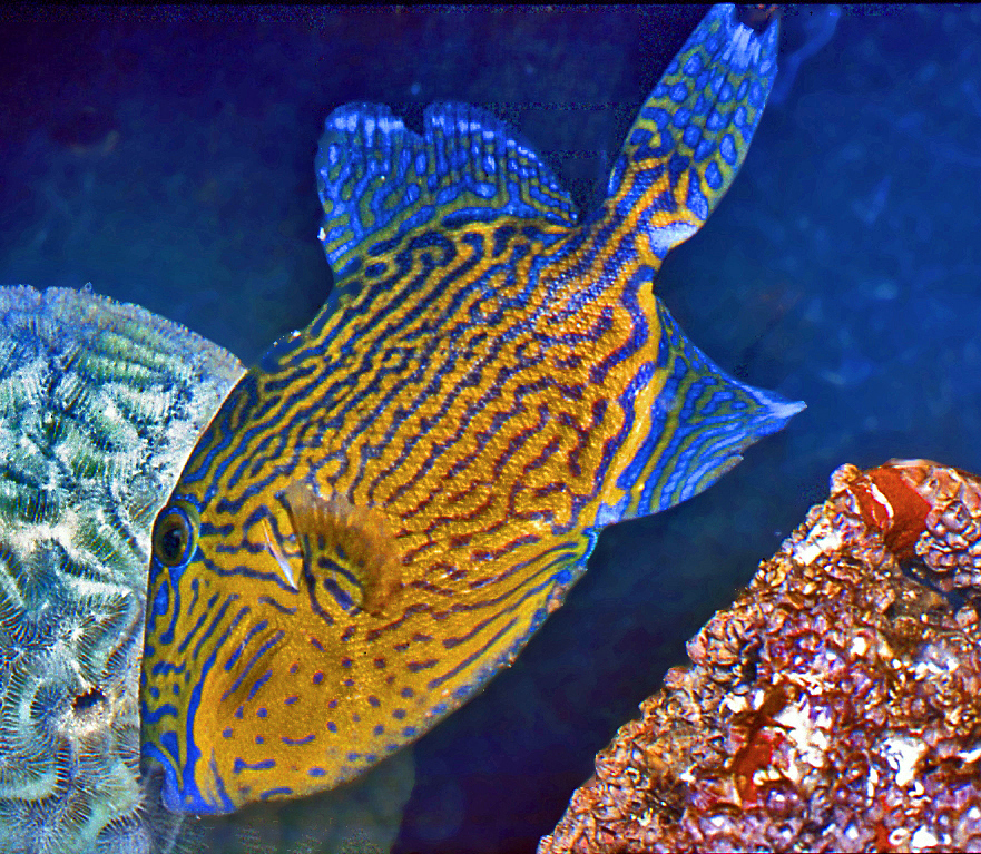 Blue triggerfish wallpaper