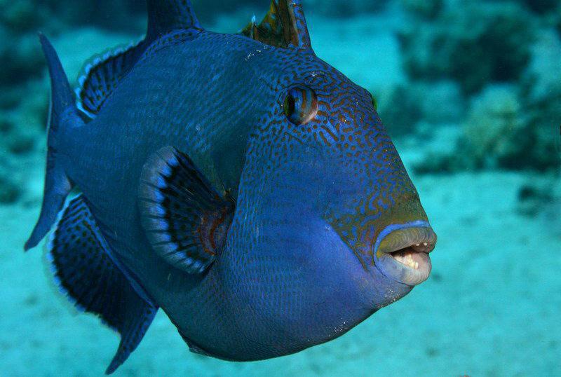 Blue triggerfish wallpaper