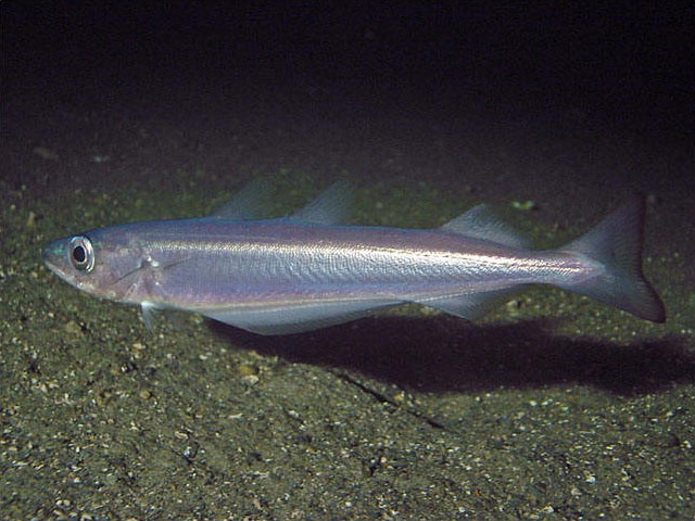 Blue whiting wallpaper