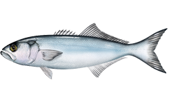 Bluefish wallpaper