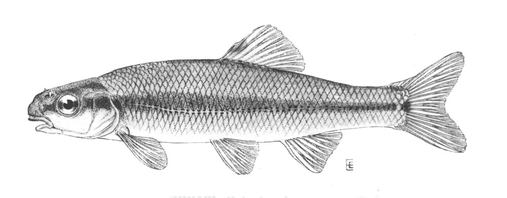 Bluntnose minnow wallpaper