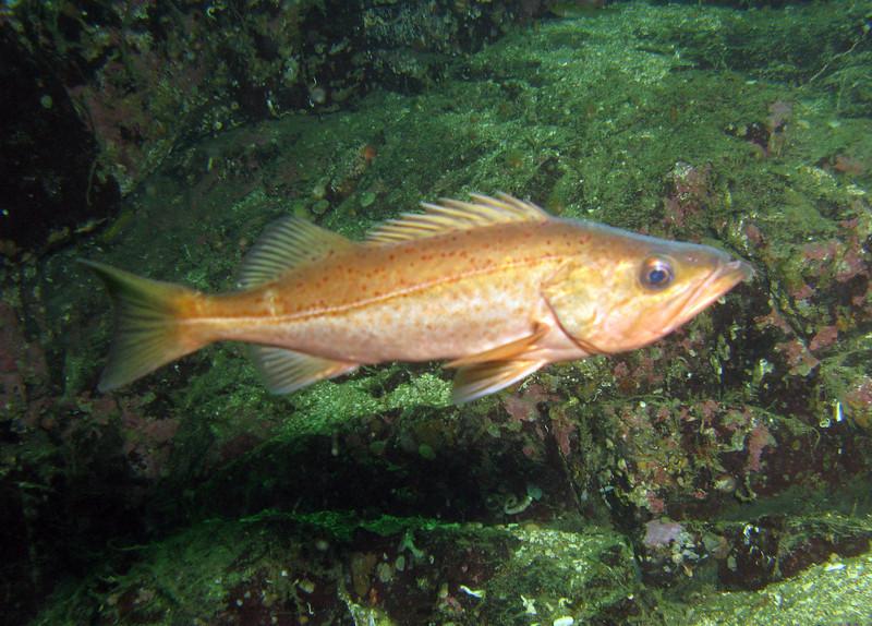 Bocaccio rockfish swims wallpaper