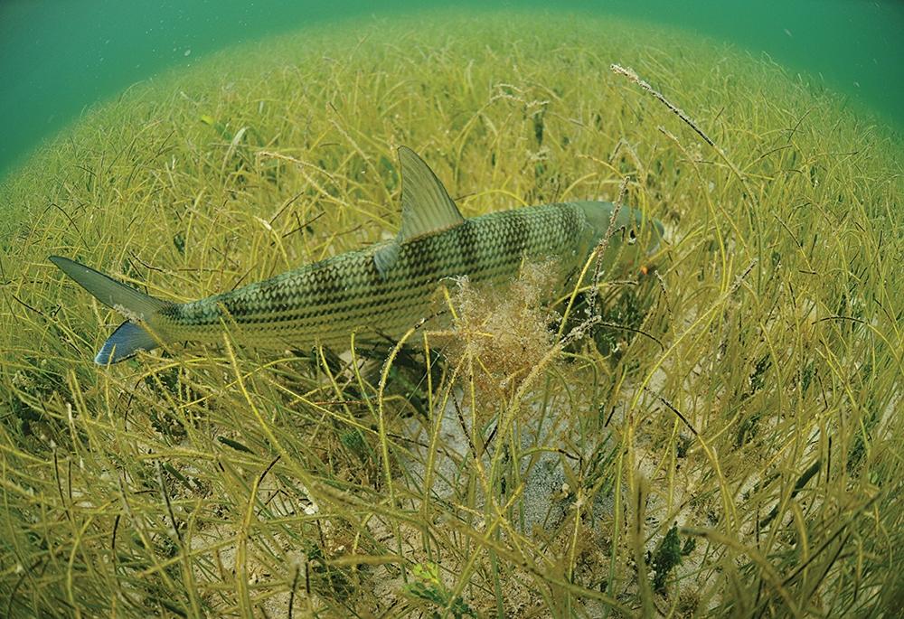 Bonefish in the grass wallpaper