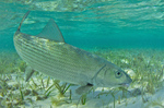 Bonefish on the shore