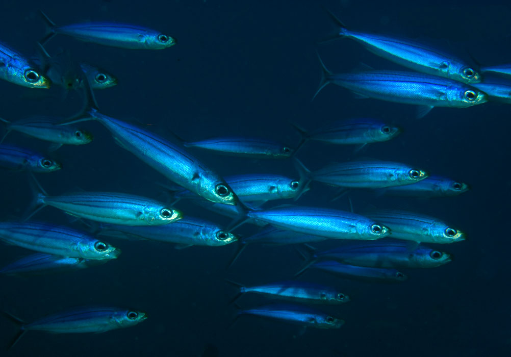 Bonnetmouth shoal of fishes wallpaper