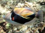 Bonny Reef triggerfish