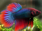 Bonny Siamese fighting fish