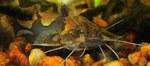 Bonny Stream catfish