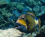 Bonny Titan triggerfish